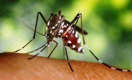 O mosquito Aedes aegypti, vetor da dengue
